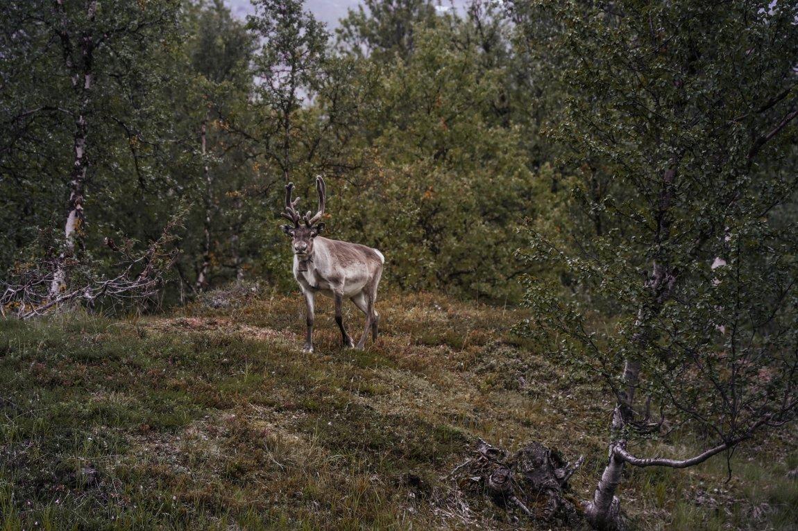 2020 Reinsdyr i Finnmark