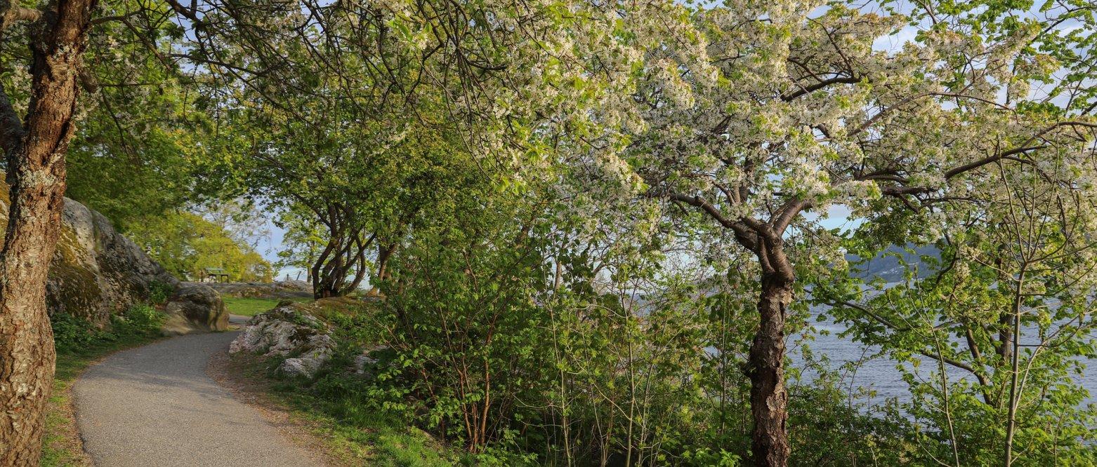 2020 - Epletrær i vårblomstring, park i Drøbak, Akershus
