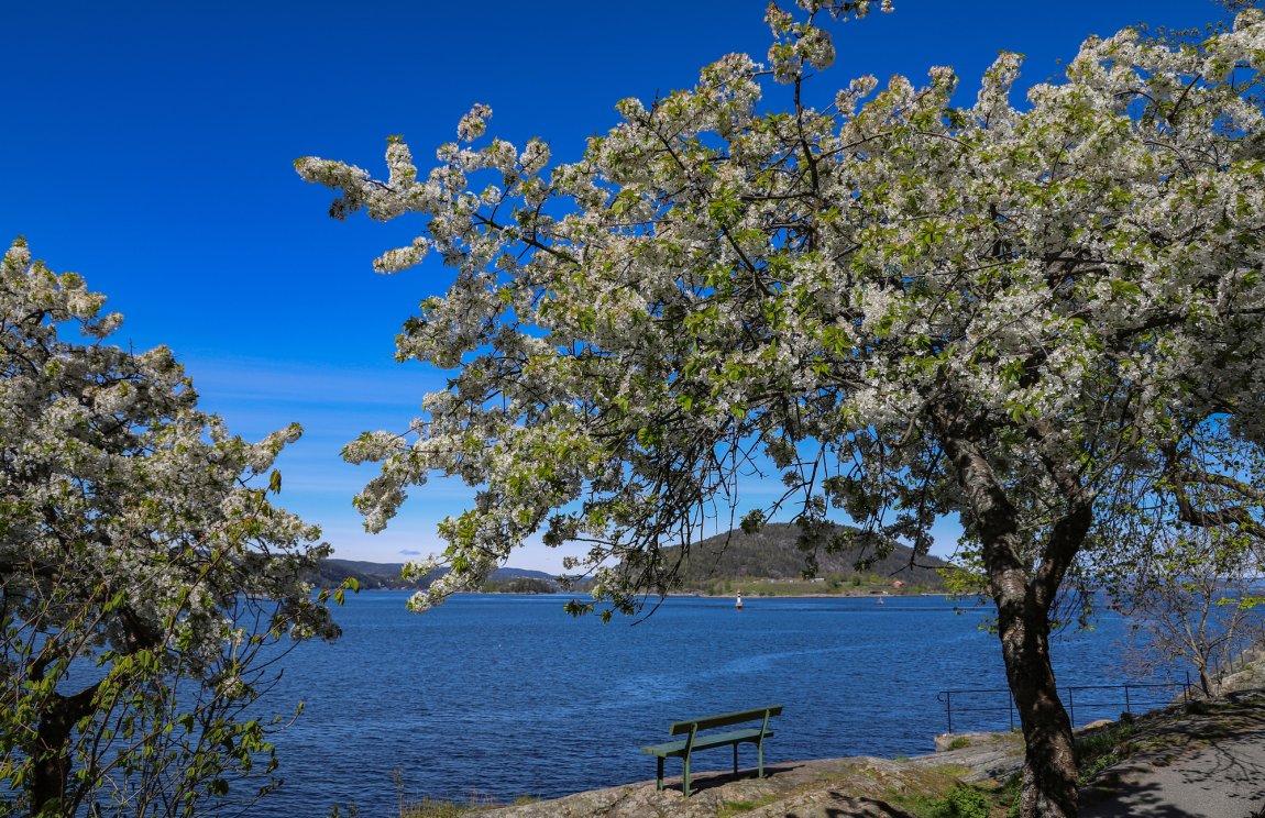 2020 - Blomstrende epletre, Drøbak i Akershus
