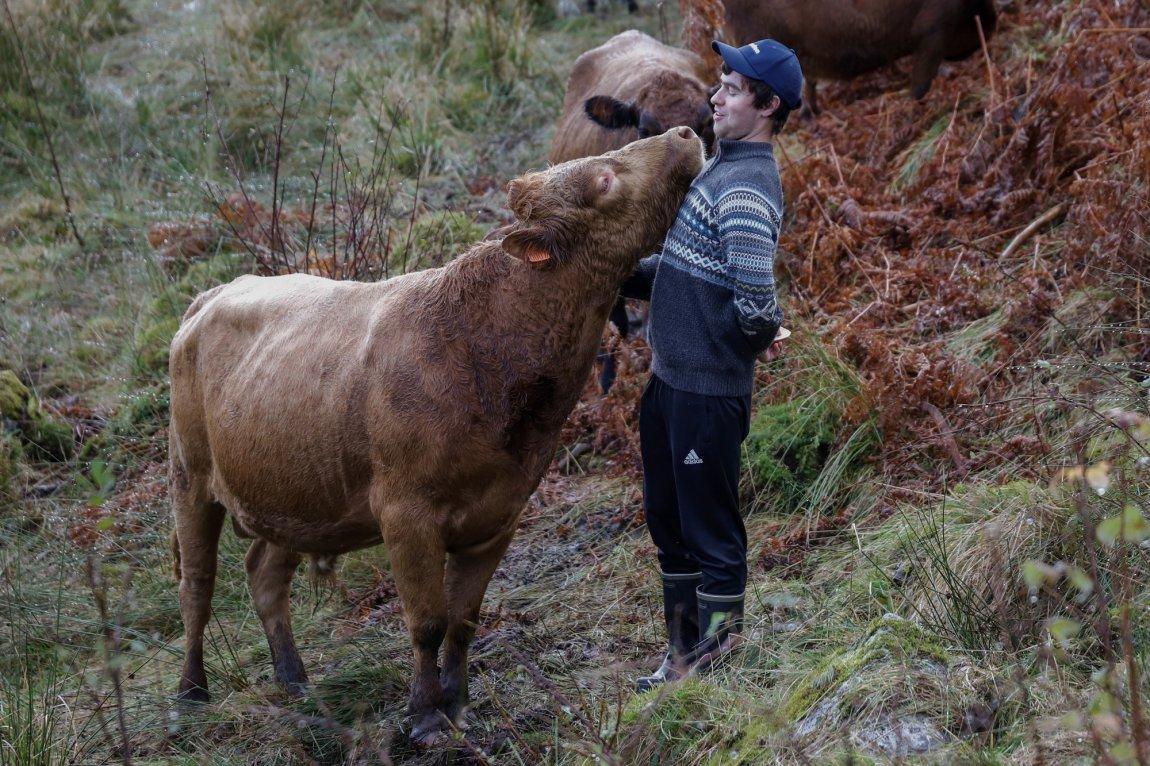 2020 Kyr på beite hos Sander Solheim, ung bonde i Sogn og Fjordane